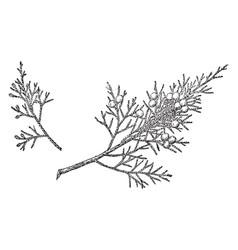 Branch of eastern red juniper vintage vector