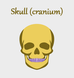 Human organ icon in flat style skull vector