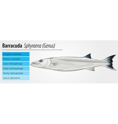 Barracuda - sphyraena genus vector