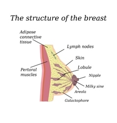 The anatomical structure of the breast on vector