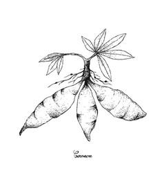 Hand drawn of fresh cassava root on white backgrou vector