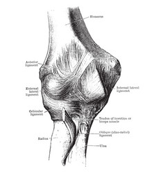 Anterior view of the elbow joint vintage vector
