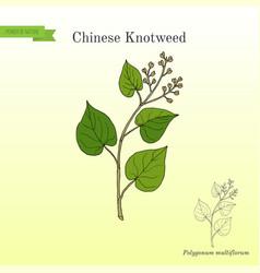 Chinese knotweed polygonum multiflorum fo-ti vector