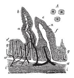 Rabbits intestinal mucous membrane vintage vector