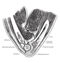 Vertical section through elbow joint vintage vector