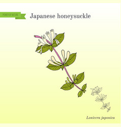 Japanese honeysuckle lonicera japonica medicinal vector
