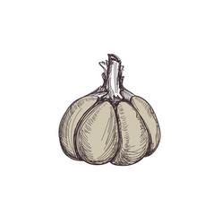 Fresh garlic hand drawn isolated icon vector