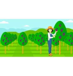 Farmer collecting grapes vector