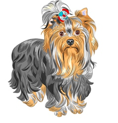 Serious yorkshire terrier vector
