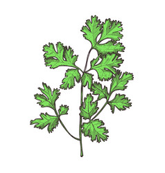 parsley herb hand drawn isolated icon vector image