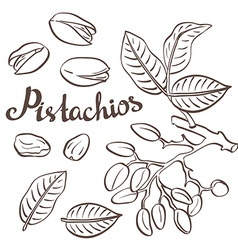Pistachio nuts with leaves and pistachio tree vector
