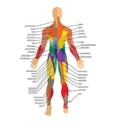 Detailed of human muscles exercise vector