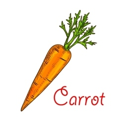 Carrot vegetable isolated sketch for food design vector