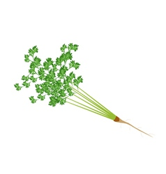 Fresh green parsley on a white background vector