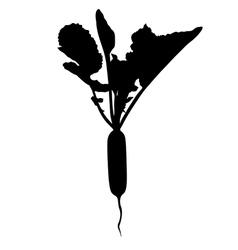 Long radish vector