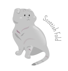 Scottish fold isolated on white background vector image vector image