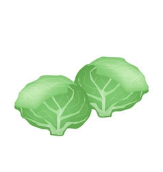 Fresh green cabbage on a white background vector