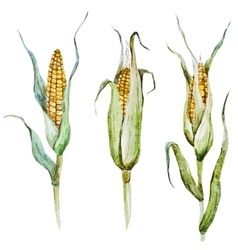 Watercolor corn vector image