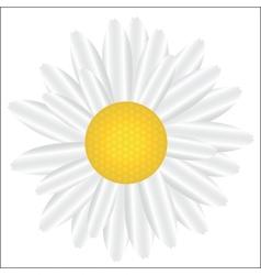 Beautiful white daisy isolated on white vector image