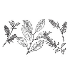 Branch of beaked willow vintage vector