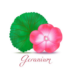 geranium flower and leaf in realistic style vector image vector image