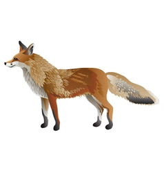 Red fox isolated vector image