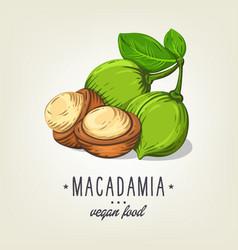macadamia icon isolated on background vector image vector image