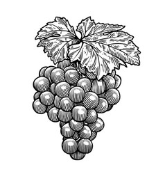 grape drawing engraving ink line vector image