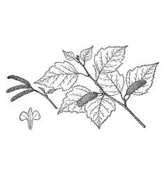 Branch of betula alaskana vintage vector