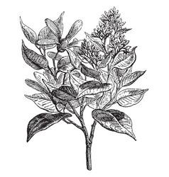 Camphor tree vintage vector
