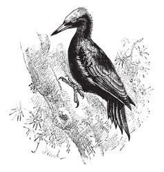 Great black woodpecker vintage vector