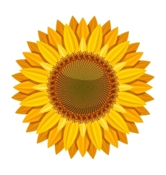 Sunflower isolated on white background vector image vector image