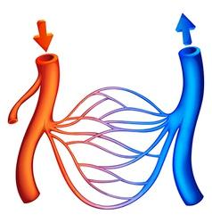 Blood circulation vector