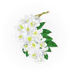Branch white flowers rhododendron mountain shrub vector
