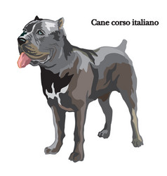 Cane corso italiano vector