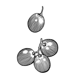 grape drawing engraving ink line vector image vector image