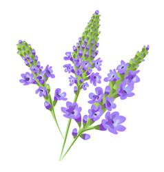 Purple flowers verbena vector