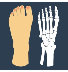 The flat design of the foot and the foot skeleton vector