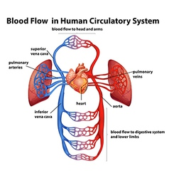 Blood flow in human circulatory system vector