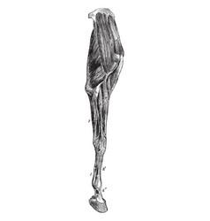 Horse leg muscles vintage vector
