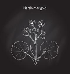 Marsh marigold or kingcup caltha palustris vector