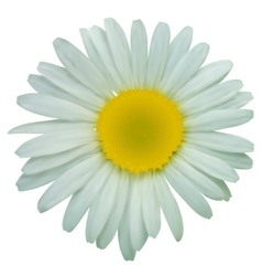 White daisy chamomile flowers vector image vector image