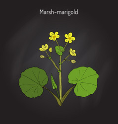 marsh marigold or kingcup caltha palustris vector image vector image