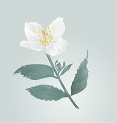 Twig jasmine flower with leaves vector