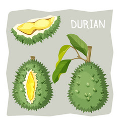 Durian fruit in sharp cracked skin with piece of vector