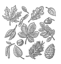 set leaf acorn chestnut and seed vintage vector image vector image