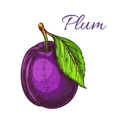 Ripe purple plum fruit with leaf sketch vector image