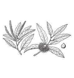 Branch of castanopsis chrysophylla vintage vector