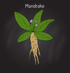 Mandrake root or mandragora officinarum vector
