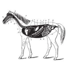 Digestive apparatus of the horse vintage vector